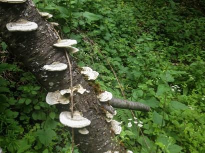 Funghi cresciuti su un tronco.